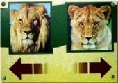lionLionne